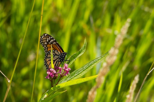 A monarch butterfly at Woodland Dunes Nature Center and Preserve in Two Rivers.