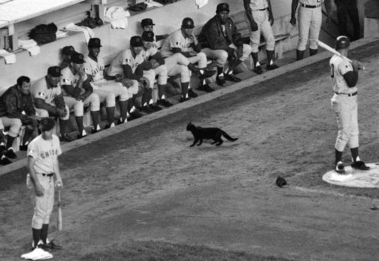 In this Sept. 9, 1969 photo, a black cat stands in front of the Chicago Cubs' dugout during the first inning of a game against the Mets in New York. The Cubs were in New York, their lead over the Mets down to 1 1/2 games when a black cat crawled out of the Shea Stadium grandstand, looped once around Ron Santo in the on-deck circle, then stopped and stared at fiery manager Leo Durocher in the dugout for what seemed like an eternity.