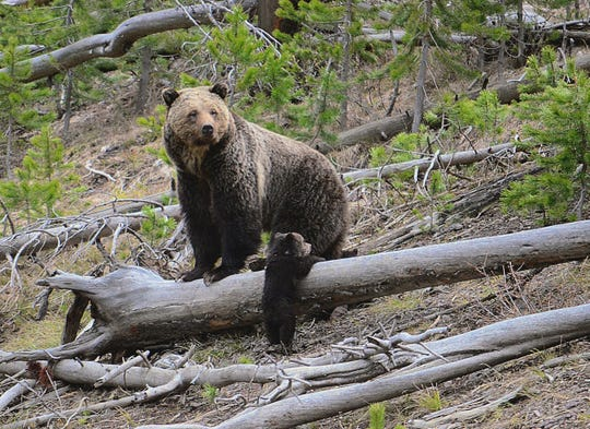 This April 29, 2019, file photo provided by the United States Geological Survey shows a grizzly bear and a cub along the Gibbon River in Yellowstone National Park, Wyo. Wildlife advocates are seeking a court order that would force U.S. officials to consider if grizzly bears should be restored to more Western states following the animals' resurgence in the Northern Rockies.