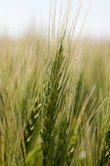 Washburn A, a potential new variety being developed by the University of Minnesota promises increased straw strength and resistance to disease.