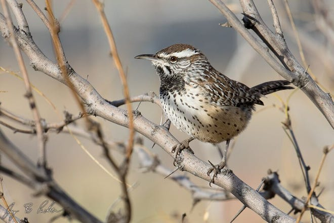 Cactus Wren, as seen in Taylor County, by photographer and birder Jay Packer