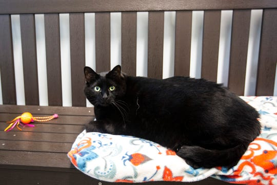 Ian, a 30-pound male cat with green eyes, sits on a bench with some toys, Friday, June 28, 2019, at the Animal Care and Adoption Center in Iowa City, Iowa. Ian and his roommate Kaia are looking to be adopted together.