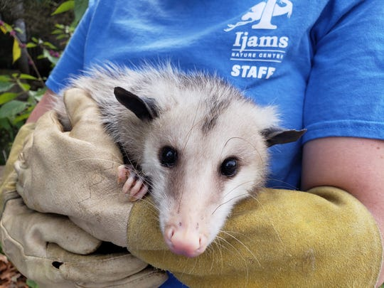 An Ijams Nature Center staff member cradles an opossum for the Creature Feature.