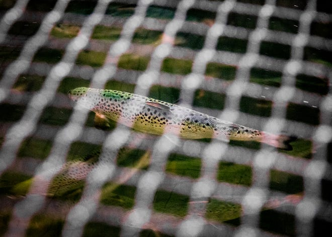 Large indoor tanks in which salmon are raised are covered with nets to prevent their escape at the AquaBounty fish farm in Albany.