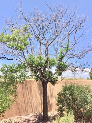 Severe branch die back on this ash tree in Placitas, New Mexico, may have been caused by compounding issues. For example, stress caused by insufficient irrigation and poor root development can increase the likelihood of secondary pest problems.