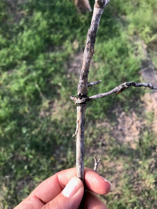 An ash twig beetle caused dieback on this branch in Belen. At the branching node the beetle chewed a groove all the way around the branch, girdling it.
