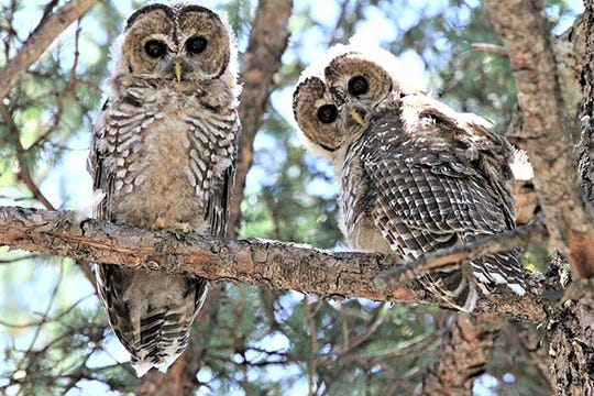 Two spotted owls, a threatened species, peer at the photographer.