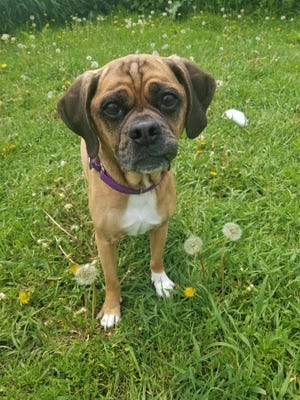 Pugslee is a puggle that loves walking on a leach and his favorite companion is cats.