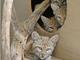 Four of the bobcat kittens.