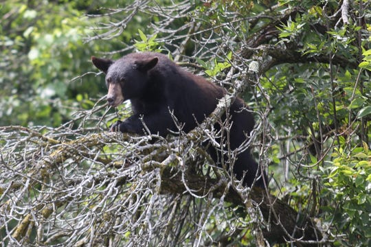 Local authorities captured a bear visiting the Town of Poughkeepsie Friday morning. The bear climbed a tree just off the westbound arterial between Taft Avenue and the Raymond Avenue Extension.