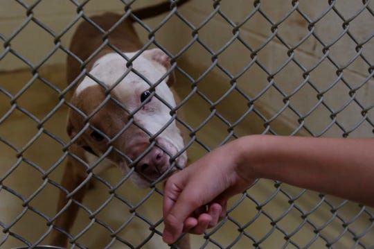 A dog sniffs Tristin Rubio's hand at San Angelo Animal Services on Thursday, June 27, 2019.
