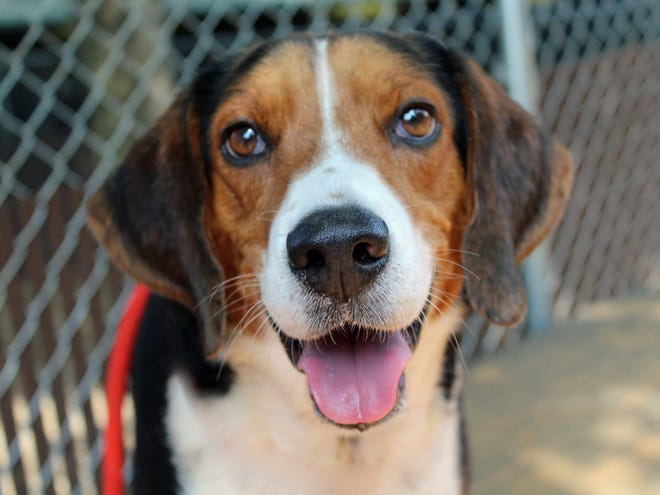 Beau Duke is 6-year-old Harrier Mix that is quickly becoming a staff and volunteer favorite.