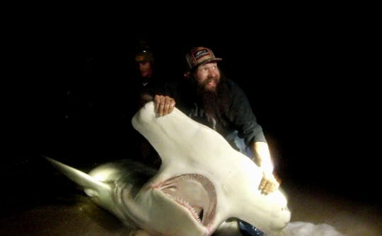 A huge hammerhead was caught and released by these anglers fishing in North Carolina. The FWC's new shark fishing regulations aims to curtail these behaviors by anglers.