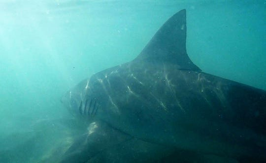 A bull shark caught June 22, 2019 off a Martin County beach by Ryan Wood of RWood Outdoors YouTube channel, is released to swim back into the waters of the Atlantic Ocean.