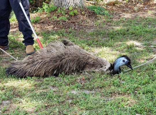 The St. Lucie County Sheriff's Office wrangled an emu on Friday, June 28, 2019.