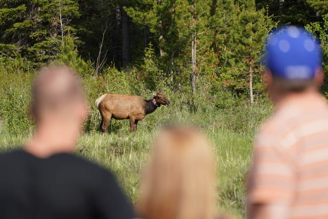 Visitors to Rocky Mountain National Park watch a cow elk graze in an alpine meadow.