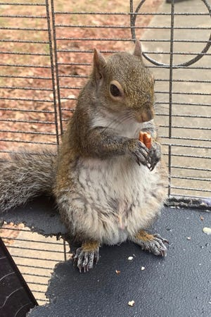 In this June 2019 file photo released by the Limestone County Sheriff's Office, a squirrel is shown in a cage, in Ala.