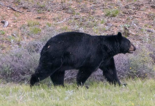 A black bear crosses a meadow at Rocky Mountain National Park.