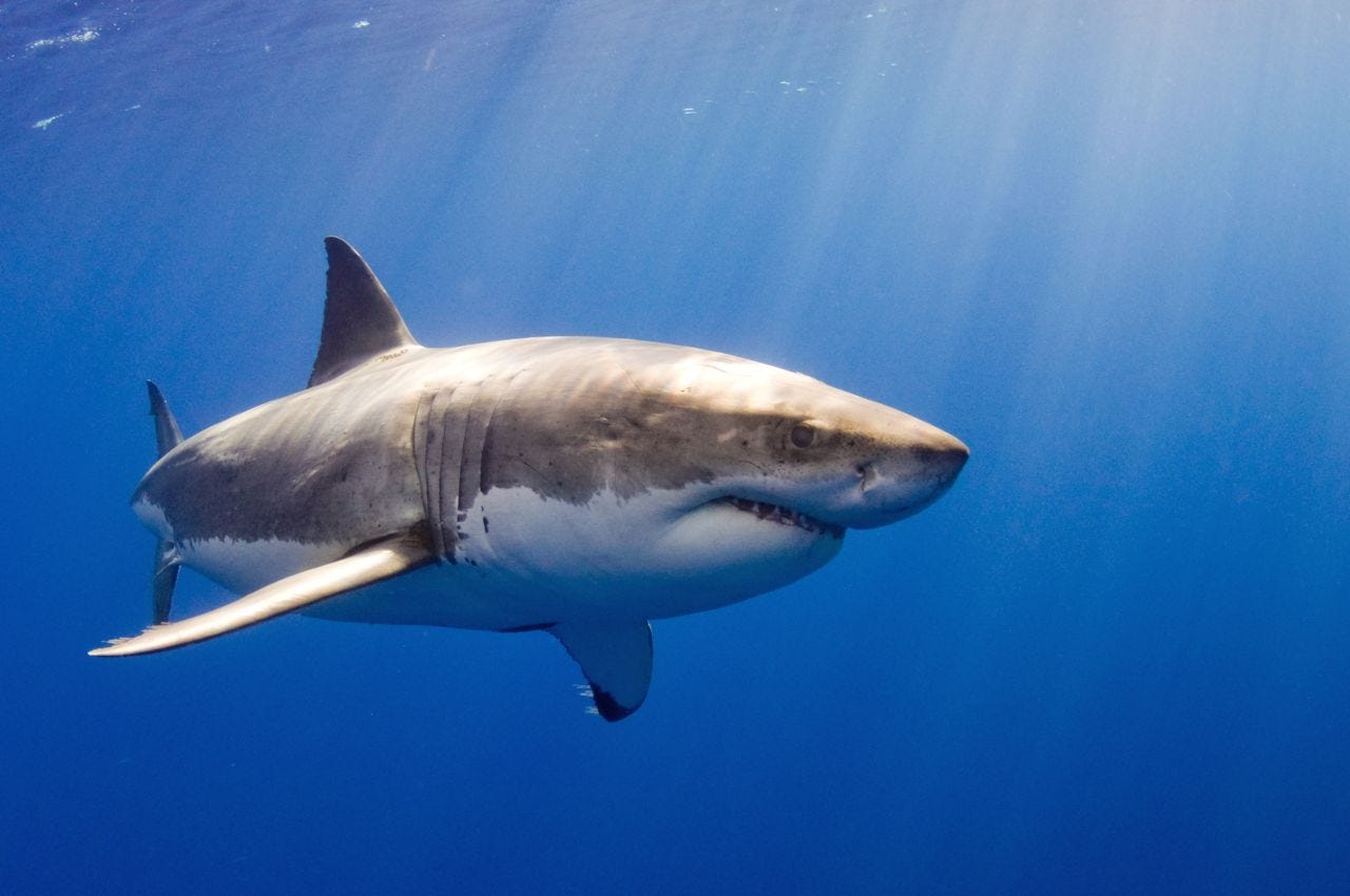 shark week 2019  after sharks kill snorkeler  what to know at beach
