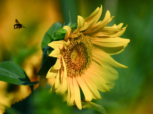 A bee flies around a flower at the Sol Flowers sunflower field, a two weekend 10 am to 5 pm event to benefit Foothills Community Foundation, in Anderson.