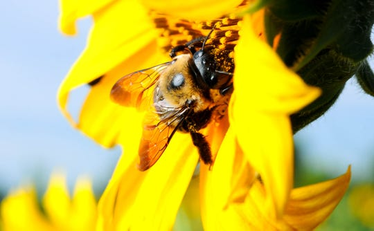Declining numbers of bees threatens yields on crops ranging from almonds and apples on the West Coast to cotton and cranberries in the East.