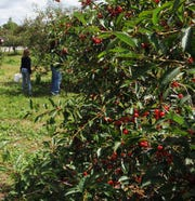 Cherries on the trees at Lautenbach?s Orchard Country Winery & Market, which hosts its annual Summer Harvest Cherry Fest on July 20.