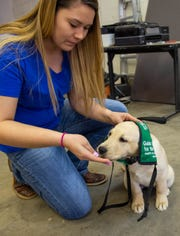 Shinaye Smith slides a Guide Puppy Vest on to Kondo, the newest member of the New Mexico State University Companion Animals program and club, in the Fido Lab, March 15, 2019.