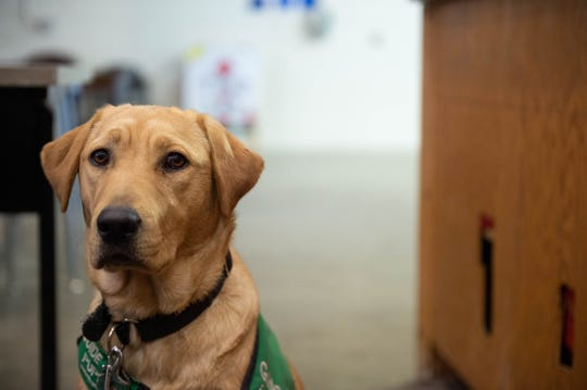 Cici, a 9-month-old Labrador retriever is one of the guide puppies in training at the Fido Lab. Tuesday April 9, 2019.