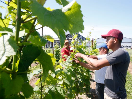 From left,  Hector, Santos and Eddie Socorec work on the grape vines at Millbrook Vineyards on June 28, 2019. The Socorec brothers have been working at the vineyard, Santos for ten years, Eddie for five, and Hector for seven, on H-2A visas.