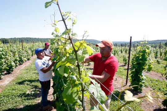 From left, Santos, Eddie and Hector Socorec work on the grape vines at Millbrook Vineyards on June 28, 2019. The Socorec brothers have been working at the vineyard, Santos for ten years, Eddie for five, Hector for seven, on H-2A visas.