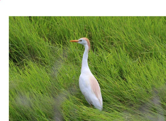 The cattle egrets' original range included Spain, Portugal and otherparts of Europe.