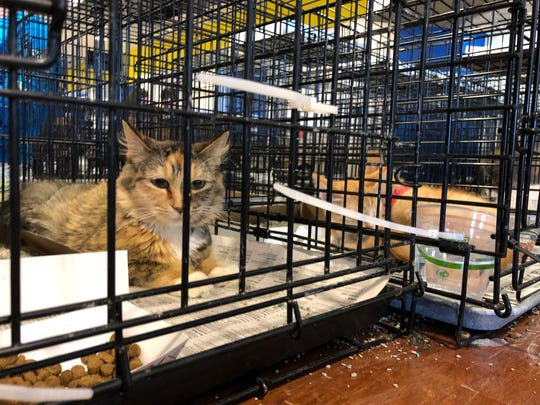 Cats are also available for adoption at the Brandywine Valley SPCA's Mega Adoption event. The cats are held on the concourse of the Bob Carpenter Center in Newark.