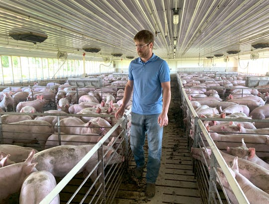 """In this Tuesday, June 25, 2019, photo, farmer Matthew Keller walks through one of his pig barns near Kenyon, Minn. When the Trump administration announced a $12 billion aid package for farmers struggling under the financial strain of his trade dispute with China, the payments were capped. But records obtained by The Associated Press under the Freedom of Information Act show that many large farming operations easily found legal ways around the limits to collect big checks. Recipients who spoke to AP defended the payouts, saying they didn't even cover their losses under the trade war and that they were legally entitled to them. Keller, who also grows crops to feed his livestock, said he """"definitely appreciated"""" the $143,820 he collected from the program. It didn't cover all his losses but it helped with his cash flow, he said. He reached the $125,000 cap on his hogs, and the remaining money was for his soybeans and corn."""