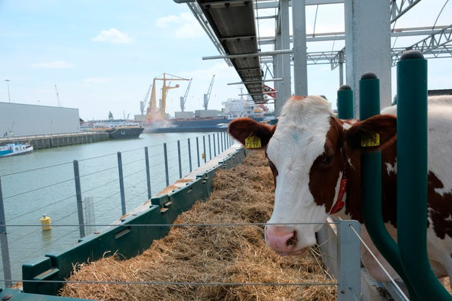 In this photo taken Monday, June 24, 2019, one of the inhabitants of a futuristic three-storey floating dairy farm moored in Rotterdam harbour, Netherlands.  The floating farm has one robot that milks the cows, another that automatically scoops up the manure, and a roof designed to collect rain water, making it a sustainable inner-city producer of dairy foods aimed at feeding the increasing populations within world cities according to the small holding farmer Peter van Wingerden.