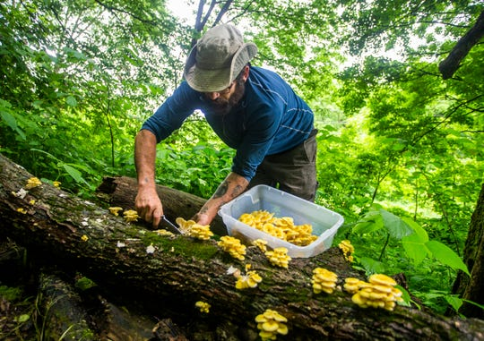 Christopher Appelman, of Durango, Iowa, harvests gold oyster mushrooms at his farm on Wednesday, June 12, 2019.