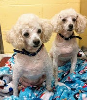 Margo and Mabel are two spayed female, 8-year-old, Mini Poodles.These two sweet girls are puppy mill survivors.