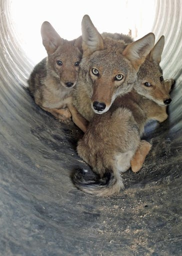 A coyote father and some of his adopted pups.