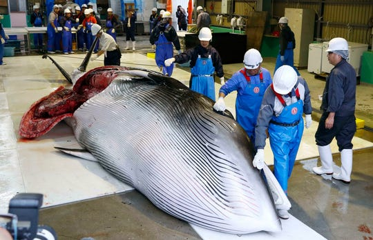 A whale is brought to shore to be processed in Kushiro, in the northernmost main island of Hokkaido, Monday, July 1.
