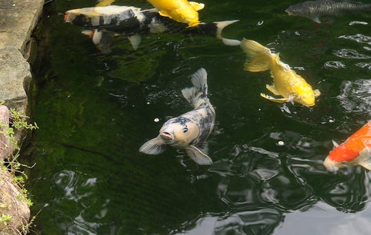 The Metro Detroit Koi & Pond Club is holding its annual pond tour on July 20th.