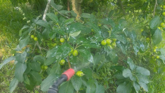 Wet all surfaces of fruit trees for most effective spraying.