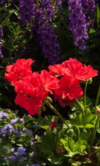 Calliope Large Orange Splash geranium will reach 18-inches tall and 24-inches wide. (Norman Winter/TNS)