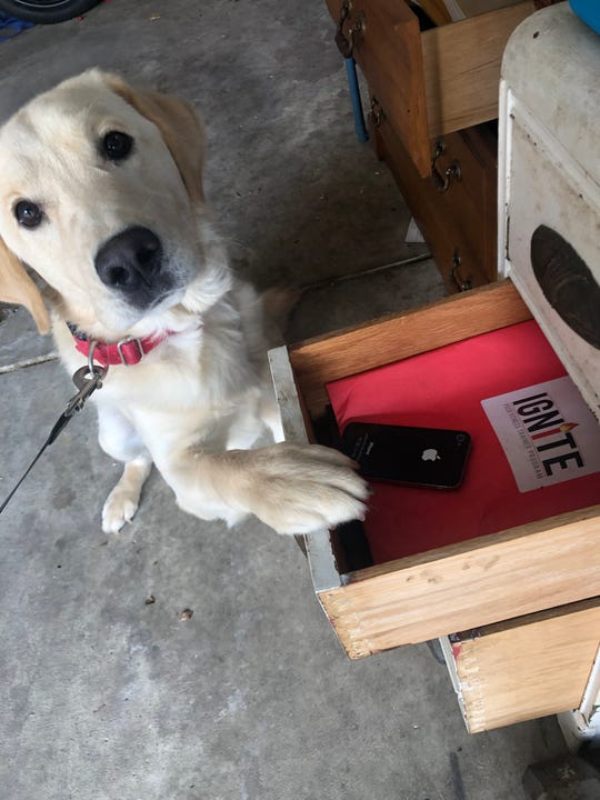 Chance, an electronic detection dog, points out a cell phone hidden in a drawer. Cascade County's new K9 will help find electronic devices for internet crimes against children and human trafficking cases.