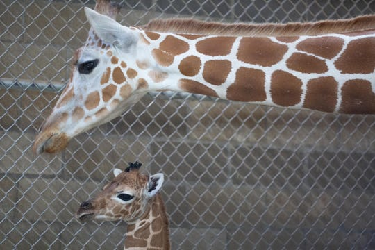 The giraffe calf now known as Bea was born July 1 to Frances at Zoo Knoxville.