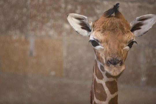 A giraffe calf was born at 3:23 am to Frances at Zoo Knoxville on July 1.
