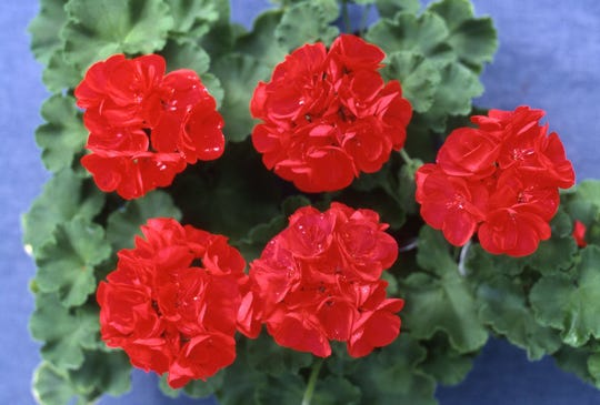 Keep colorful geraniums in prime condition by weekly removal of spent blooms and feeding every three weeks. They will provide blooms into late October.