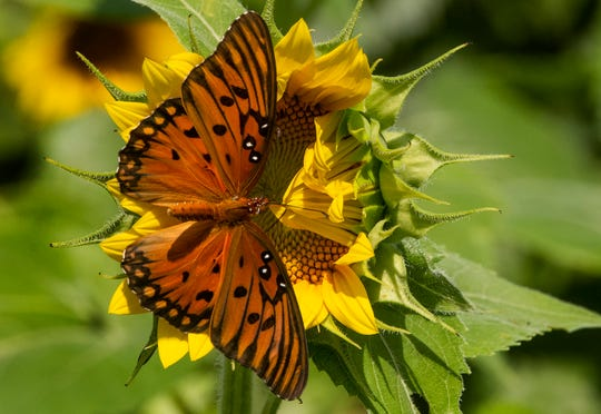 A butterfly makes the rounds in The Sunflower Field near Autaugaville, Ala., on Monday July 1, 2019. The field, owned by the Sheridan family is open to visitors free of charge.