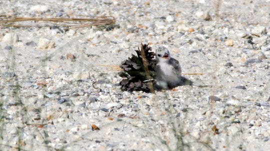 A least tern chick seeks shelter behind a pine cone as it basks in the sun Monday on Navarre Beach.