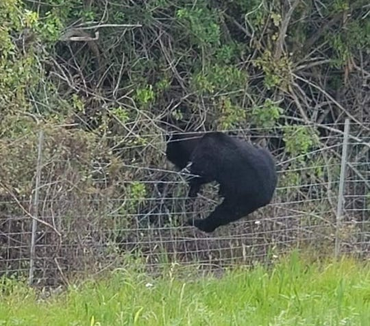 A Florida black bear seen near I-95 and Gatlin Blvd. in Port St. Lucie recently climbs a fence.