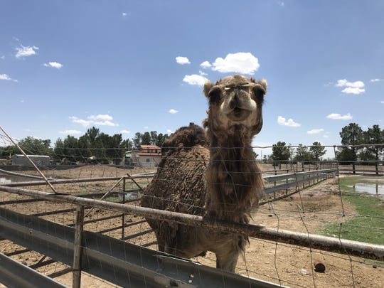 A camel is one of more than a dozen animals visible on the farm at Licon Dairy, 11951 Glorietta Road, in San Elizario.