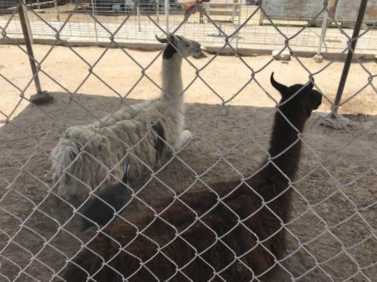 Two llamas enjoy the shade at the petting zoo at Licon Dairy.